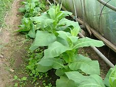 Tobaksplanta