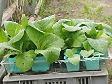 tobaksplantor redo för utplacering